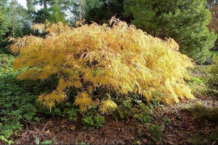 Javor dlanitolistý 'Dissectum Flavescens' - Acer palmatum 'Dissectum Flavescens'
