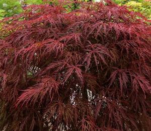 Javor dlanitolistý 'Crimson Queen' - Acer palmatum 'Crimson Queen'