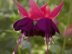 Čílko, fuchsie 'George Bartlett' - Fuchsia hybrida 'George Bartlett'