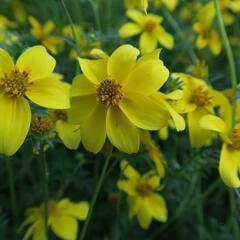 Dvouzubec prutolistý 'Goldita' - Bidens ferulifolia 'Goldita'