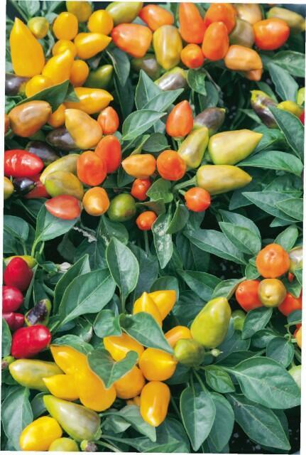 Paprika chilli 'Oraneta' - Capsicum annuum 'Oraneta'