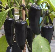 Paprika chilli 'Azteco' - Capsicum annuum 'Azteco'