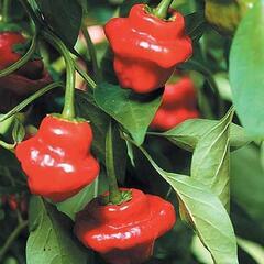 Paprika chilli 'Jamaican Rosso' - Capsicum annuum 'Jamaican Rosso'