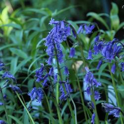 Hyacintovec britský - Hyacinthoides non-scripta