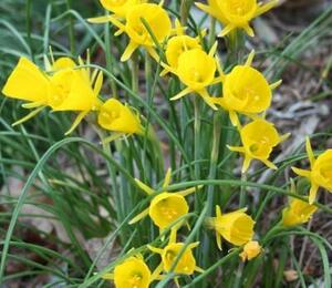 Narcis 'Golden Bells' - Narcissus bulbocodium 'Golden Bells'