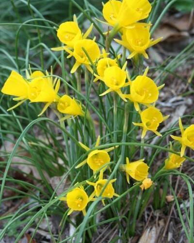 Narcis 'Golden Bells' - Narcissus bulbocodium 'Golden Bells'