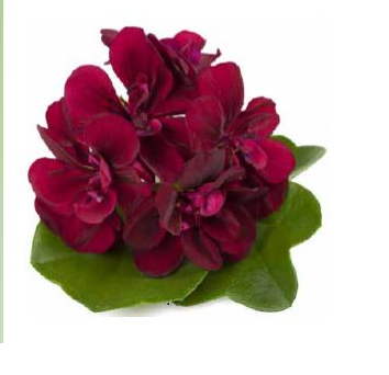Muškát, pelargonie převislá plnokvětá 'Double Magenta' - Pelargonium peltatum 'Double Magenta'