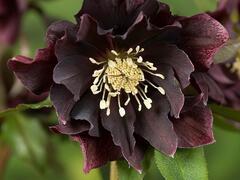 Čemeřice východní 'Double Ellen Purple' - Helleborus orientalis 'Double Ellen Purple'