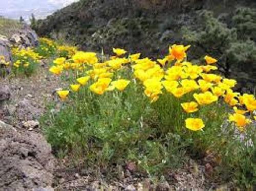 Sluncovka kalifornská - Eschscholzia californica