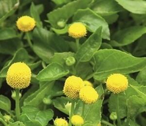 Plamatka zelná 'Homer' - Spilanthes oleracea 'Homer'
