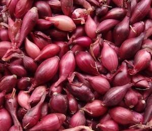 Cibule šalotka 'Schelia' - Allium cepa 'Schelia'