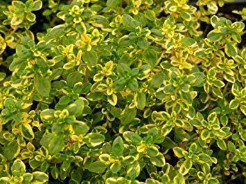 Mateřídouška 'Mystic Lemon' - Thymus x citriodorus 'Mystic Lemon'