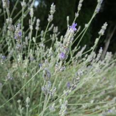 Levandule širokolistá - Lavandula latifolia