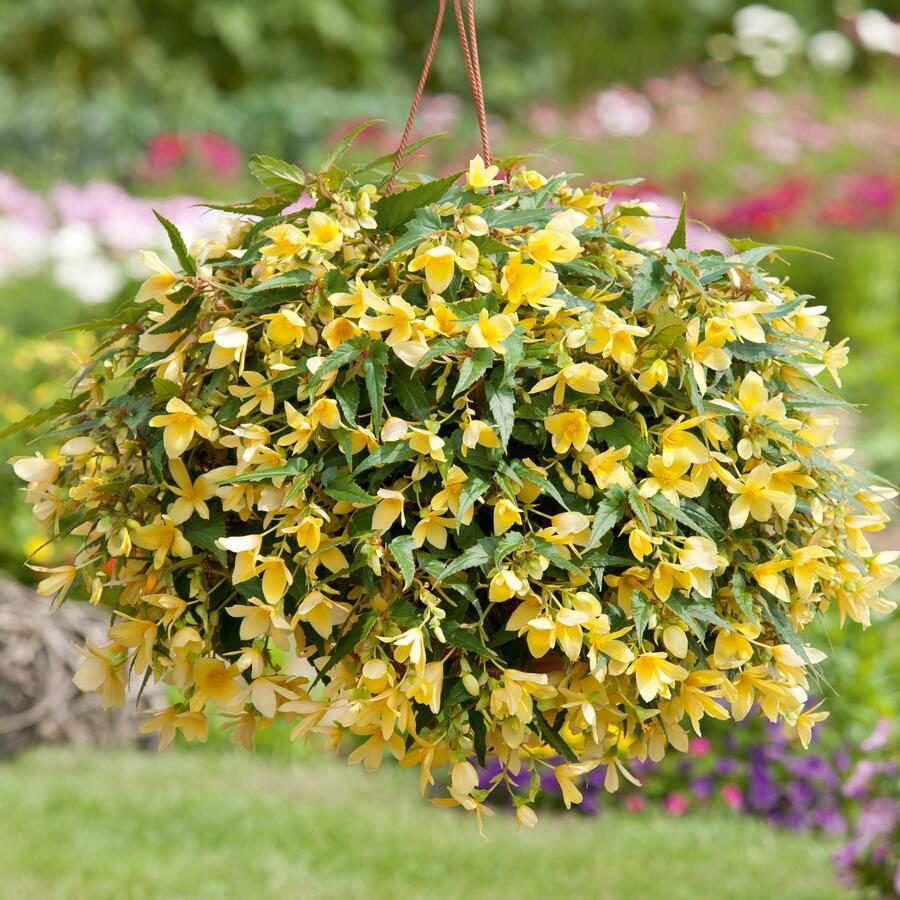 Begónie bolívijská 'Bellavista Lemon' - Begonia boliviensis 'Bellavista Lemon'