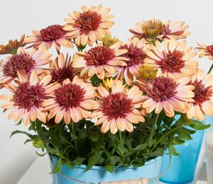 Dvoutvárka 'Erato Double Orange Center' - Osteospermum ecklonis 'Erato Double Orange Center'