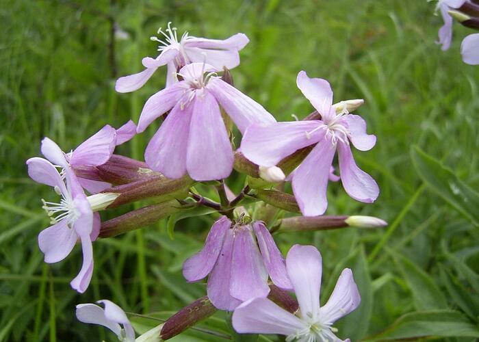 Mydlice lékařská - Saponaria officinalis