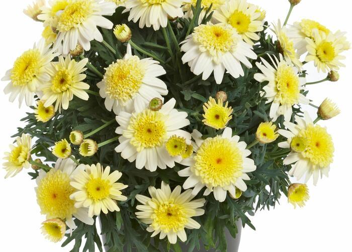 Kopretina pařížská 'Aramis Semi Double Lemon' - Argyranthemum frutescens 'Aramis Semi Double Lemon'