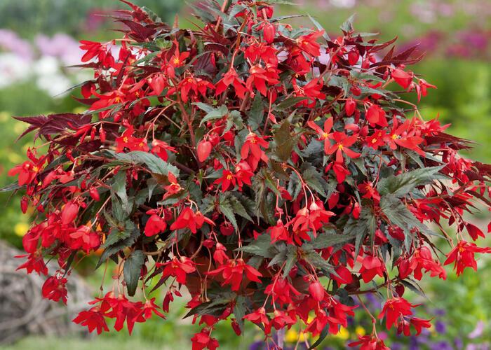 Begónie bolívijská 'Bellavista Dark Leaf Red' - Begonia boliviensis 'Bellavista Dark Leaf Red'