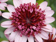 Dvoutvárka 'Erato Double Rose' - Osteospermum ecklonis 'Erato Double Rose'