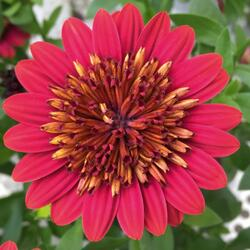 Dvoutvárka 'Erato Double Red' - Osteospermum ecklonis 'Erato Double Red'