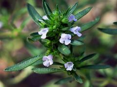 Saturejka zahradní - Satureja hortensis