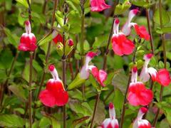 Šalvěj 'Hot Lips' - Salvia greggii 'Hot Lips'