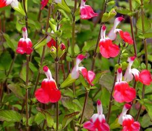 Šalvěj 'Hot Lips' - Salvia greggii 'Hot Lips'
