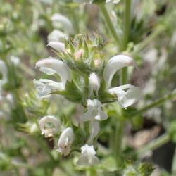 Šalvěj etiopská - Salvia aethiopis