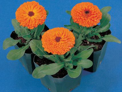 Měsíček lékařský 'Orange with Black Eye' - Calendula officinalis 'Orange with Black Eye'