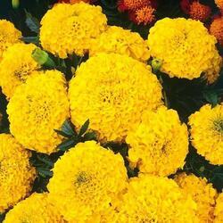 Aksamitník rozkladitý, afrikán 'Texana Yellow' - Tagetes patula 'Texana Yellow'