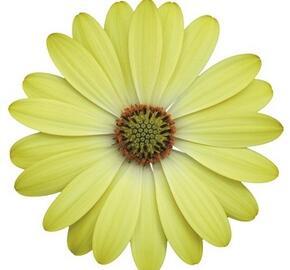Dvoutvárka 'Erato Basket Lemon' - Osteospermum ecklonis 'Erato Basket Lemon'