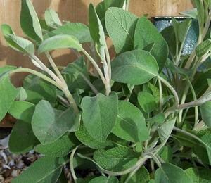 Šalvěj lékařská 'Green Sage' - Salvia officinalis 'Green Sage'