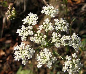 Bedrník obecný - Pimpinella saxifraga