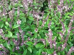 Bazalka pravá skořicová 'Cinnamonette' - Ocimum basilicum 'Cinnamonette'