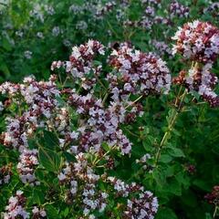 Dobromysl obecná - Origanum vulgare