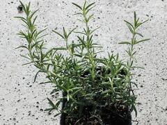 Rozmarýn lékařský 'Riviera' - Rosmarinus officinalis 'Riviera'