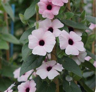Smatavka, thunbergie křídlatá 'Arizona Pink Beauty' - Thunbergia alata 'Arizona Pink Beauty'