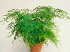 Asparágus 'Plumosus nanus' - Asparagus setaceus 'Plumosus nanus'