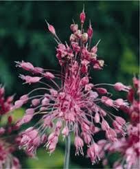 Česnek - Allium pulchellum