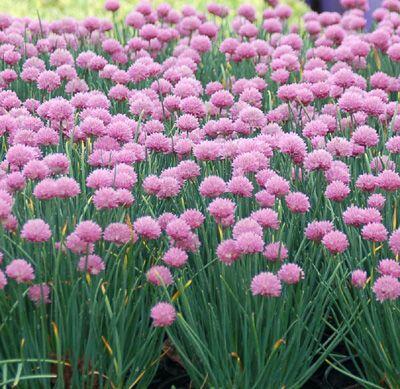 Pažitka pobřežní 'Rising Star' - Allium schoenoprasum 'Rising Star'