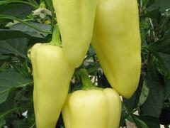 Paprika polní 'Monanta' - Capsicum annuum 'Monanta'