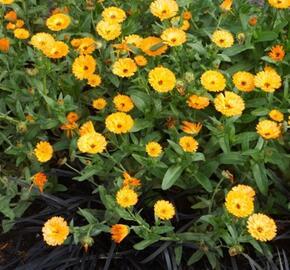 Měsíček lékařský 'Chinita Amber Arctic' - Calendula officinalis 'Chinita Amber Arctic'