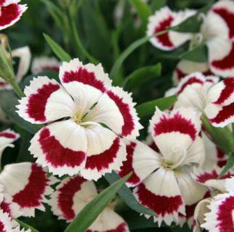 Hvozdík pyšný 'Olivia' - Dianthus superbus 'Olivia'