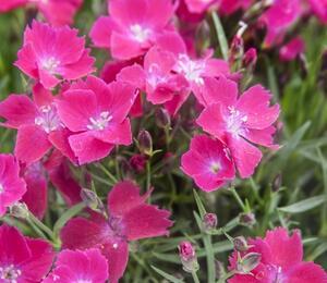 Hvozdík zakrslý 'Kahori Scarlet' - Dianthus caryophyllus 'Kahori Scarlet'