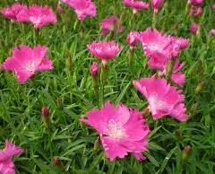 Hvozdík zakrslý 'Kahori Pink' - Dianthus caryophyllus 'Kahori Pink'