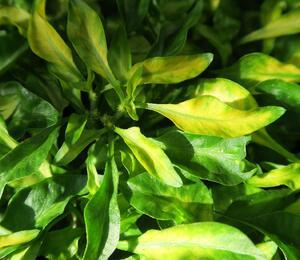 Plevuňka 'Yellow Green' - Alternanthera bettzickiana 'Yellow Green'