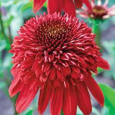 Třapatka nachová 'Eccentric'® - Echinacea purpurea 'Eccentric'®