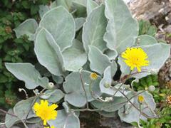 Jestřábník vlnatý - Hieracium lanatum