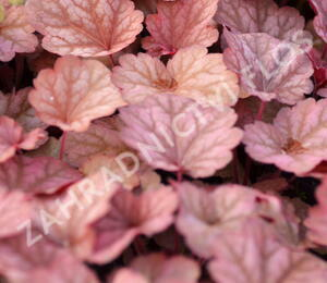 Dlužicha 'Beauty Leaves Owen' - Heuchera hybrida 'Beauty Leaves Owen'
