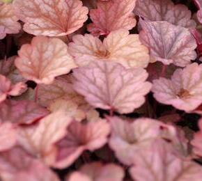 Dlužicha 'Beauty Leaves Owen' - Heuchera hybrida 'Beauty Leaves Owen'